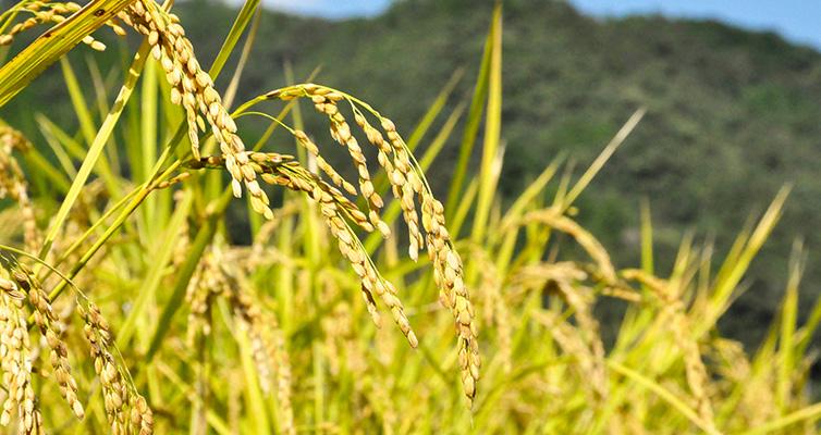 かおり米 香り米 匂い米 十和 お米 四万十