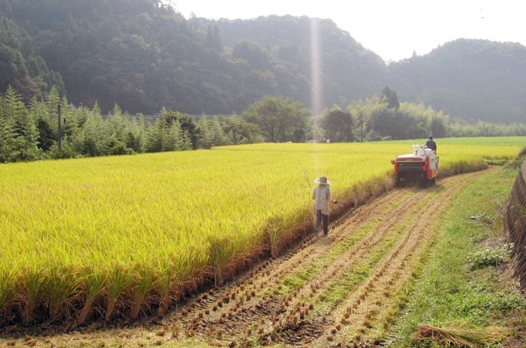 十和の稲刈り風景