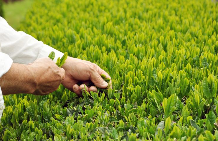 手摘みで収穫したお茶