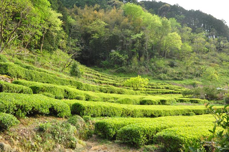 斜面に広がる茶畑