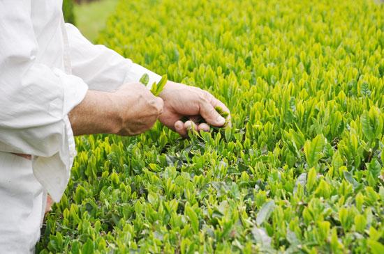 手摘み、手刈りで収獲されたしまんと茶