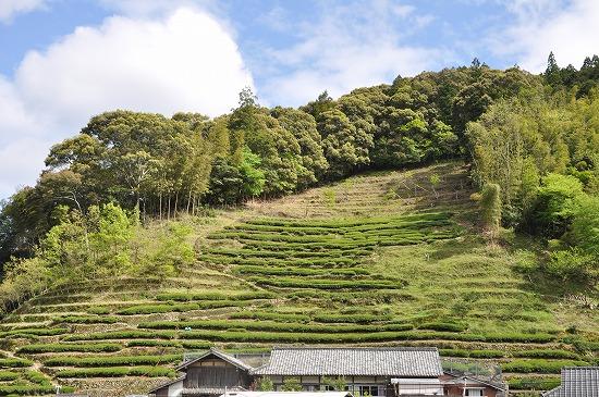 四万十のお茶はほとんどが手摘み・手刈り