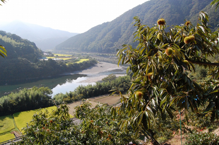 四万十で栽培されている栗