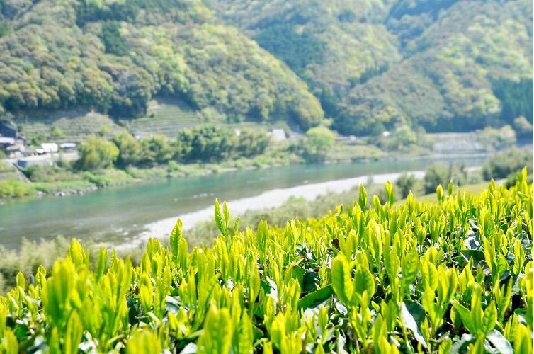 茶葉と四万十川の写真