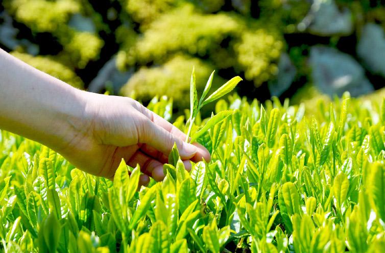 四万十の茶葉は手摘み手刈り