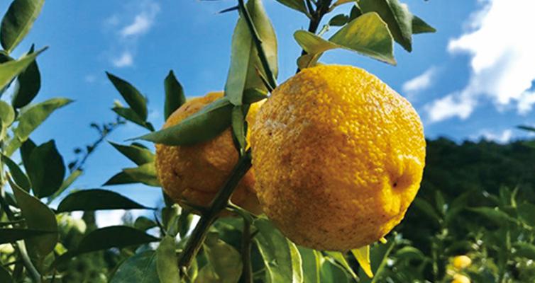 ゆず 柚子 黄色ゆず