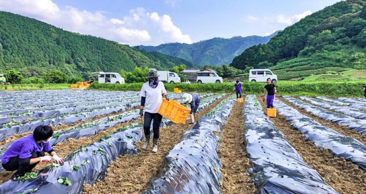 人参芋 畑 芋 植え 定植 四万十川流域 しまんと 畑仕事