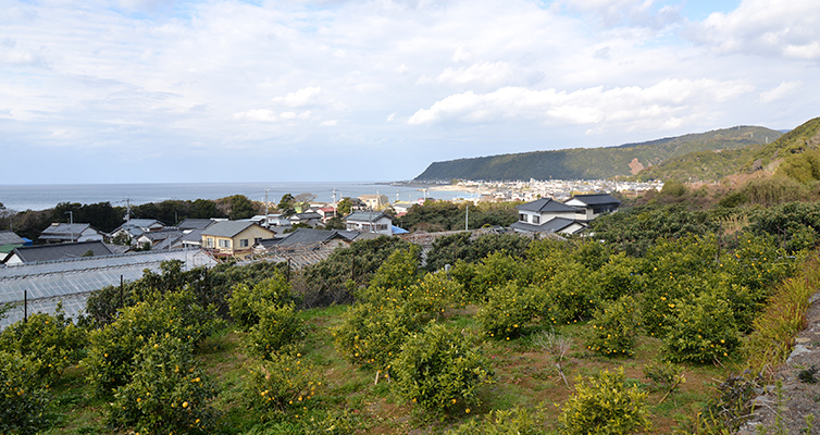 アールグレイ earlgrey 栽培風景 ベルガモット bergamot 海沿い 畑 室戸市 安芸市