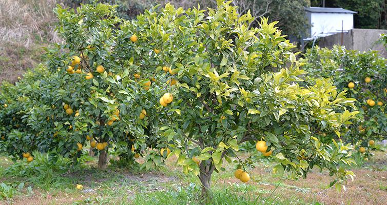 アールグレイ earlgrey 栽培風景 ベルガモット bergamot 海沿い 畑 室戸市 安芸市 木なり